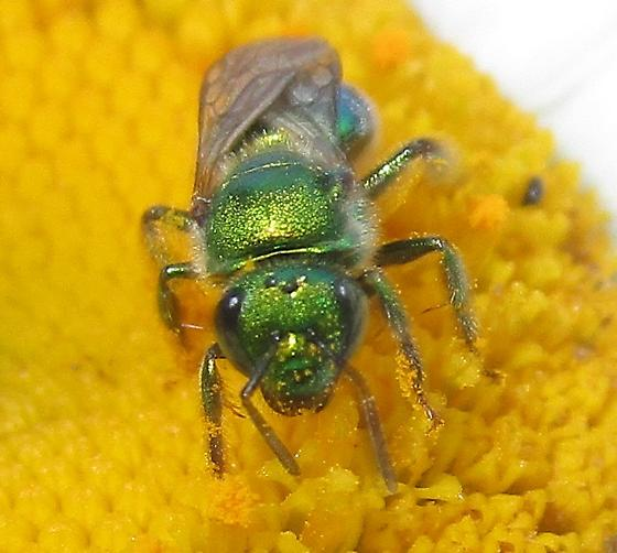 Green Bee - Augochloropsis