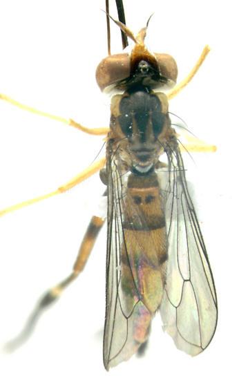 Conopidae, dorsal - Stylogaster biannulata - female