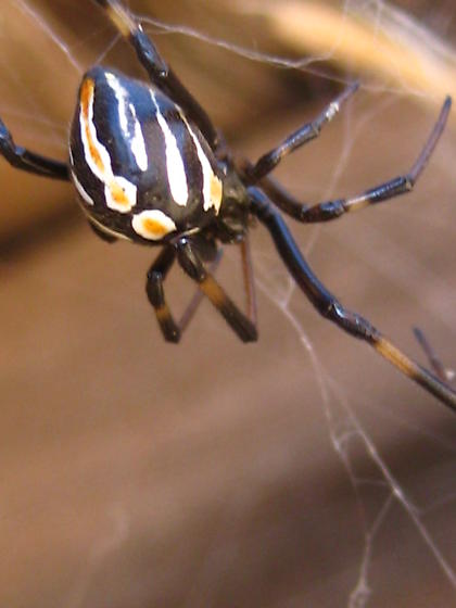 juvinille black widow? - Latrodectus hesperus - female