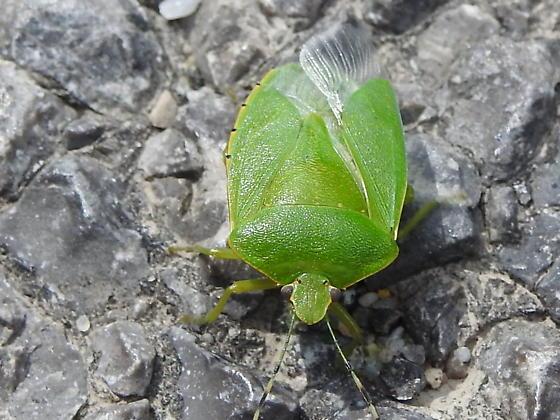 another Stink Bug - Chinavia hilaris