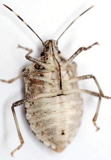 brown marmorated stinkbug - Halyomorpha halys - female