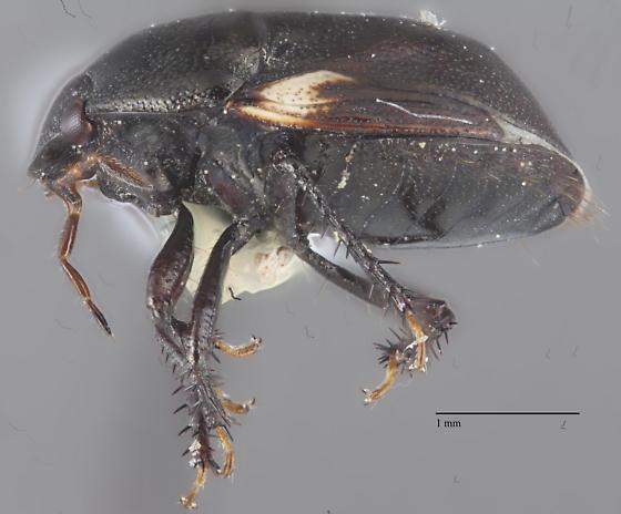 Cydnidae? - Cydnoides renormatus