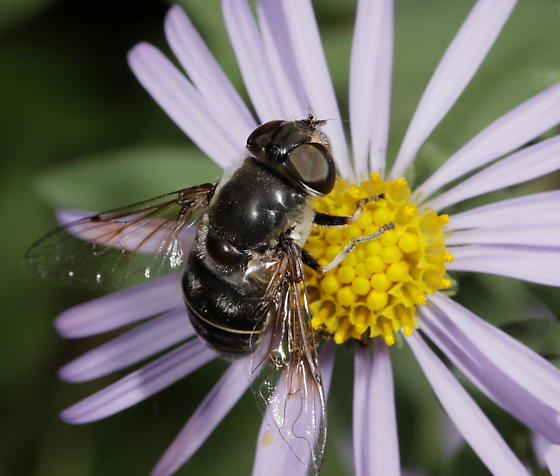 Eristalis dimidiata - female