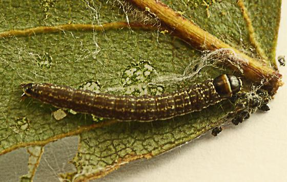 Moth from white birch edgefold caterpillar - Pococera