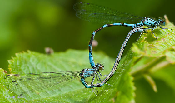 Subarctic bluets - Coenagrion interrogatum - male - female