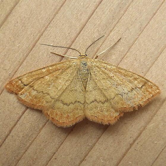 Geometridae: Scopula luteolata - Scopula luteolata