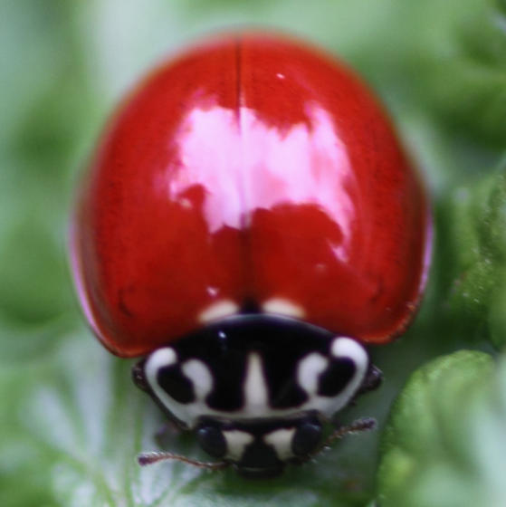 lady beetle  - Cycloneda polita