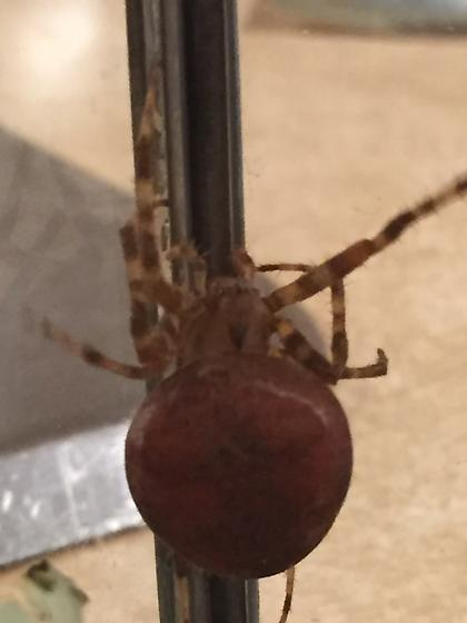 False Widow??? - Araneus diadematus