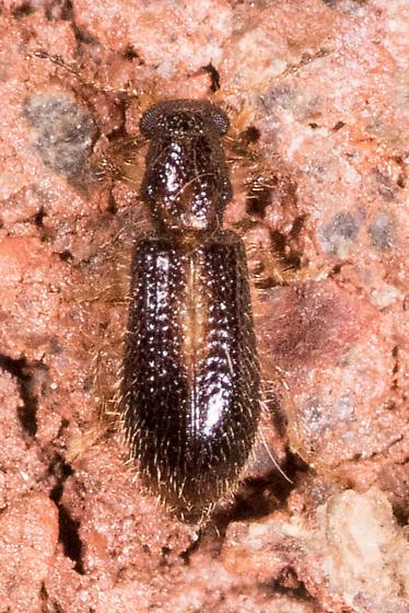Very Tiny Beetle - Cregya