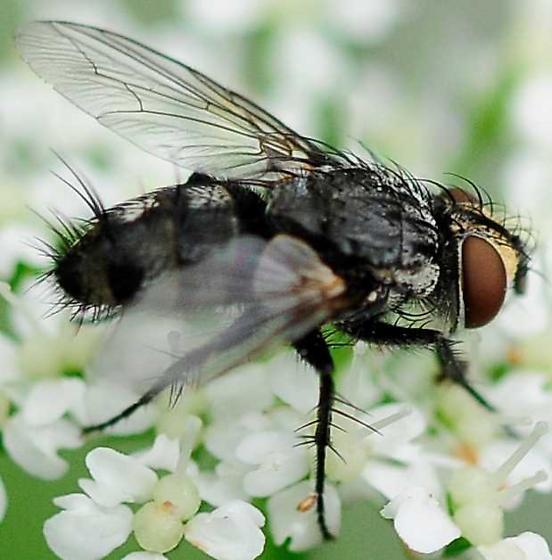 Parasitic Fly Family Tachinidae Subfamily Exoristinae