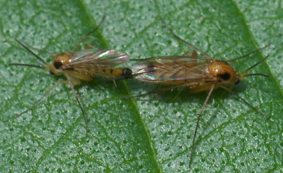Small, yellow flies with long legs - Leia - male - female