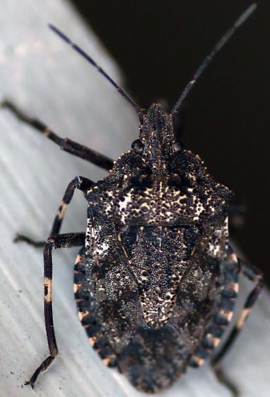 Stink Bug - Brochymena affinis