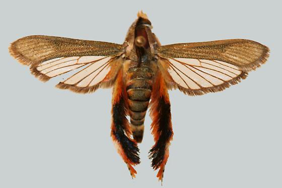 Melittia grandis (Strecker) - Melittia grandis - male
