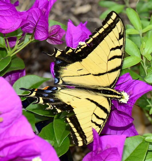 Please identify this Swallowtail. - Papilio multicaudatus