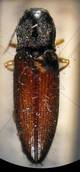 Hemicrepidius hemipodus (Say) - Hemicrepidius decoloratus