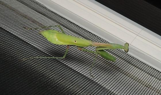 another species of praying mantis, wide bottom - Stagmomantis carolina - female