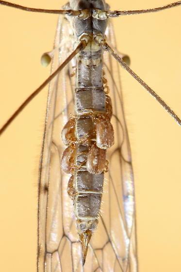 Crane Fly Mites - Cheiroseius
