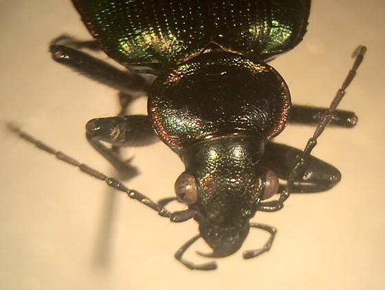Carabidae - Calosoma sycophanta - Calosoma wilcoxi