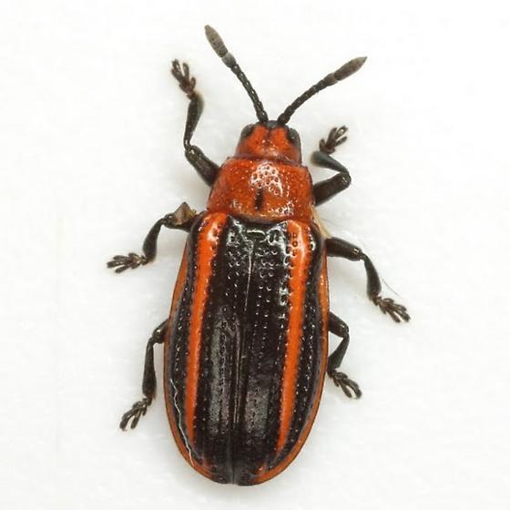Microrhopala vittata (Fabricius) - Microrhopala vittata