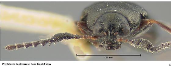 Tiny flea beetle - Alticini? - Phyllotreta denticornis - male