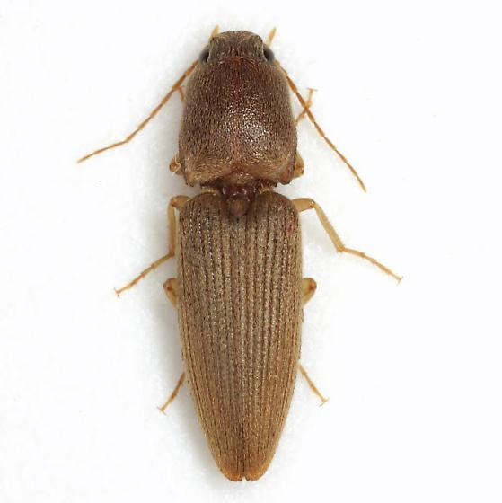 Conoderus scissus (Schaeffer) - Conoderus scissus