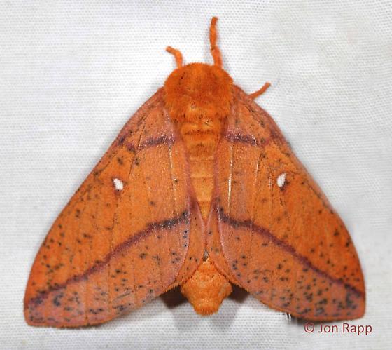 Spiny Oakworm Moth - Anisota stigma