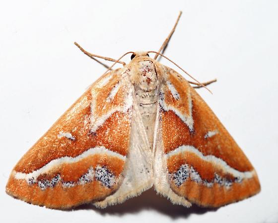 Brown Pine Looper - Caripeta angustiorata - female