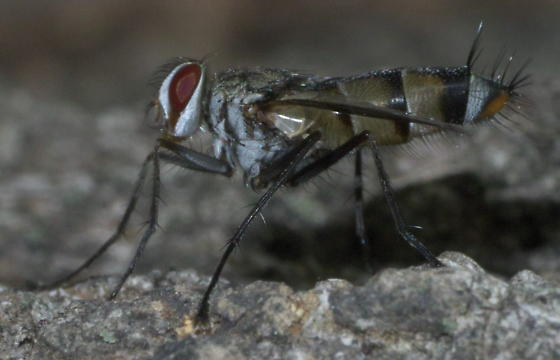 Gray, brown and black fly with long legs - Zelia vertebrata - male