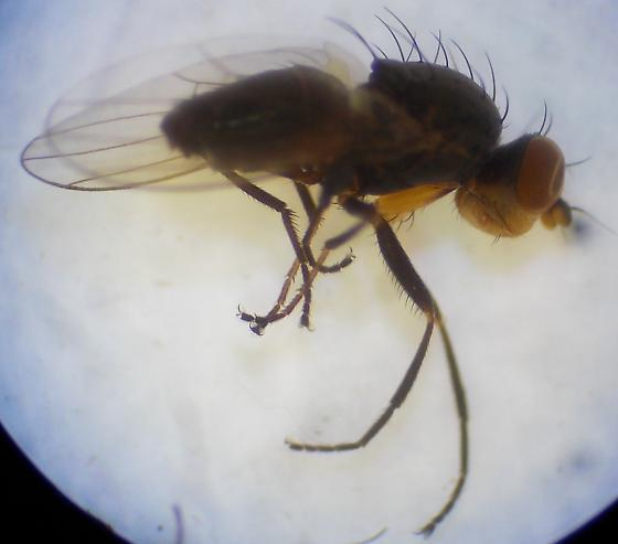 Fly 3 - Pelomyia