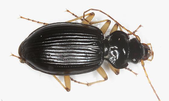 Carabidae - Nebria pallipes