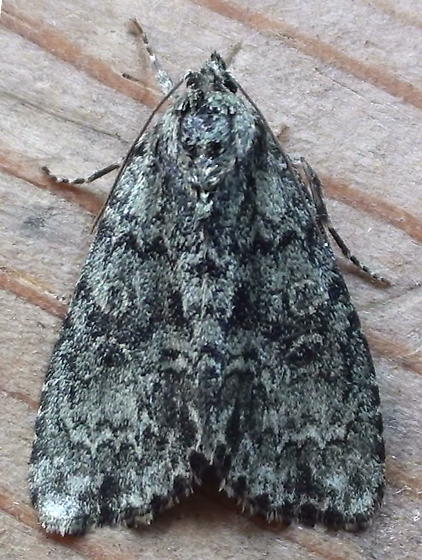Noctuidae: Acronicta retardata? - Acronicta heitzmani