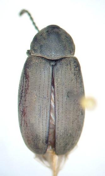 Bruchid - Pachymerus nucleorum