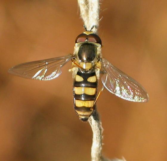 Syrphid Fly - Eupeodes americanus - male