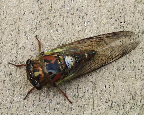 Cicada - Neotibicen lyricen