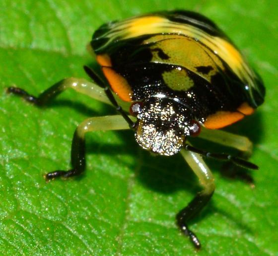 Green Stink Bug Nymph?