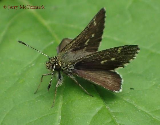 Thorybes pylades - Amblyscirtes hegon