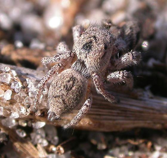 Habronattus calcaratus - female