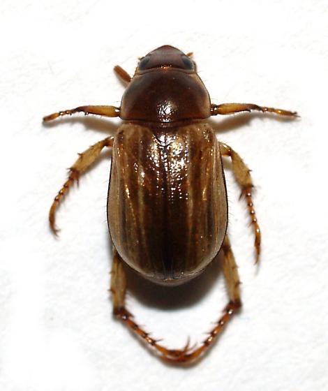 Small Scarab - Anomalacra clypealis