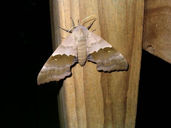Sphinx moth? - Pachysphinx modesta