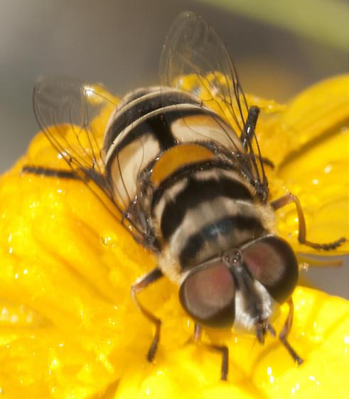 Unknown Syrphidae - Palpada agrorum