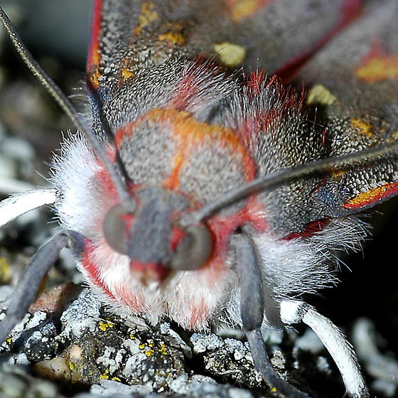 Lepidoptera, a gray and red moth - Bertholdia trigona