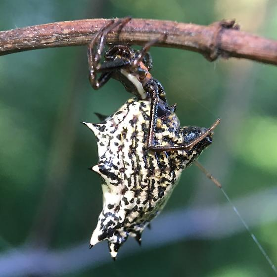 Micrathena gracilis ? - Micrathena gracilis - female