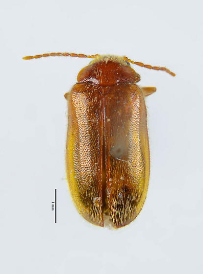 Possible Scirtid? - Unnamed-near-cyphon brevicollis
