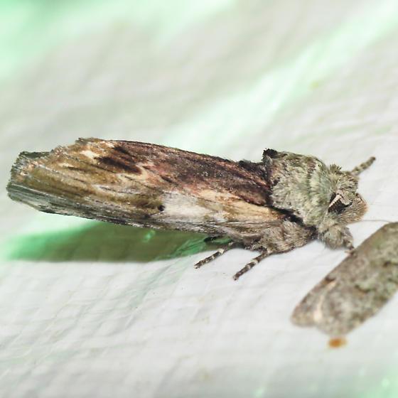 8012 Red-washed Prominent - Oligocentria semirufescens