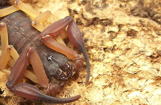 Centruroides gracilis - male