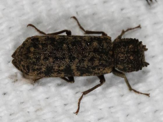 Insect - Lichenophanes bicornis