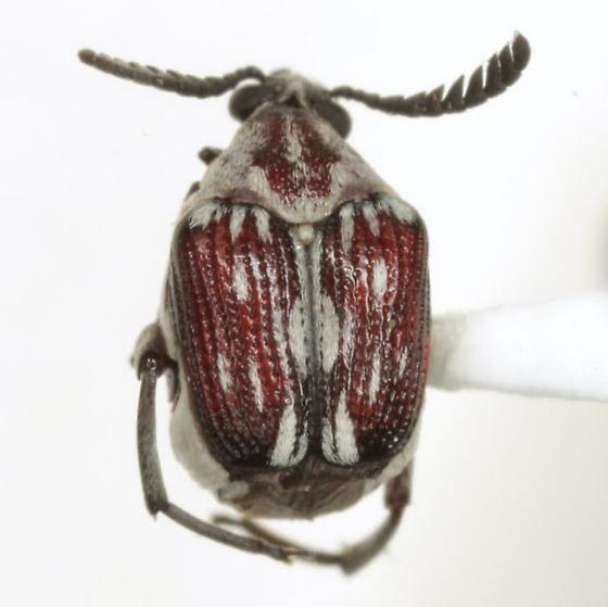 Megacerus leucospilus (Sharp) - Megacerus leucospilus - female