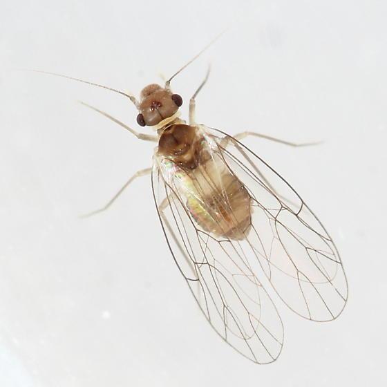 Psyllipsocid - Psyllipsocus ramburii