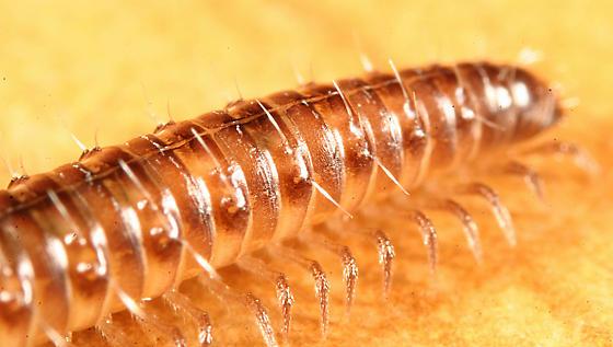Millipede - Conotyla blakei