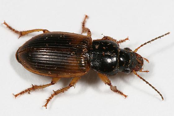 Carabid - Anisodactylus sanctaecrucis